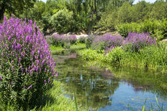 Flowers, purple loosestrife Stock Photography