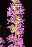 Flower spike of purple loosestrife, an invasive species, Vernon, Royalty Free Stock Images