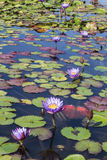 Flowers purple lotuses in the pond Stock Image