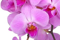 Flowers of a purple Phalaenopsis orchid isolated Stock Photography
