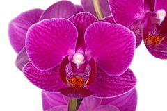 Flowers of a purple Phalaenopsis orchid isolated stock images