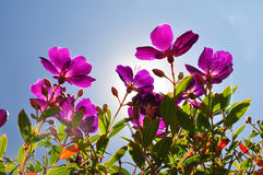 Flowers-purple tibouchina with sun backlighting. The purple tibouchina grows on a medium sized shrub to small tree and hardy and suitable tree for small gardens Royalty Free Stock Images