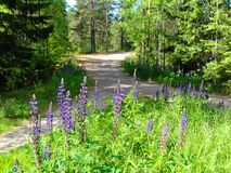 Flowers of purple, wild Lupins Lupinus polyphyllus by forest in Finland. Green pine forest with purple flowers, wild Lupins Lupinus polyphyllus. Hanko, Finland royalty free stock image
