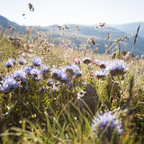 Flowers of the Pyrenees Royalty Free Stock Images