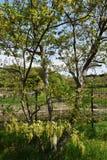 Flowers of Quercus serreta. Early summer landscape / Flowers of Quercus serrata Royalty Free Stock Photography