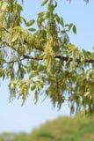 Flowers of Quercus serreta. Early summer landscape / Flowers of Quercus serrata Royalty Free Stock Photo