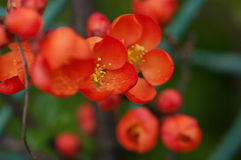 Flowers quince. Beautiful red flowers in the garden Royalty Free Stock Photography