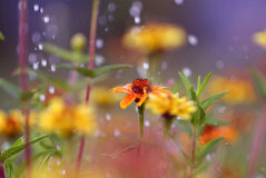 The flowers in the rain. Rain in the garden, the flowers in the rain Royalty Free Stock Photo