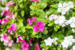 Flowers with rain drops in garden, soft focus. West indian periwinkle, Catharanthus roseus, Vinca flower, Bringht Eye Royalty Free Stock Images
