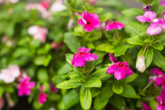 Flowers with rain drops in garden, soft focus. West indian periwinkle, Catharanthus roseus, Vinca flower, Bringht Eye Royalty Free Stock Image