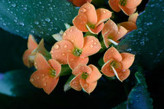 Flowers in rain. Flowers in garden after rain Royalty Free Stock Photography