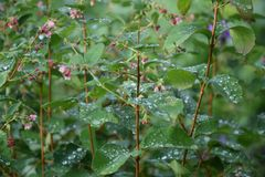 Flowers after rain in the garden in the middle Urals. stock images