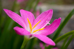 Flowers:Rain Lily,Zephyranthes Lily. Stock Photography