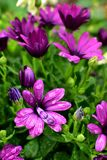 Flowers in rain Royalty Free Stock Photo