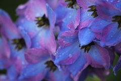 Flowers: Raindrops on Delphiniums Stock Images