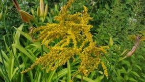 Goldenrod. Random flower shots Royalty Free Stock Images