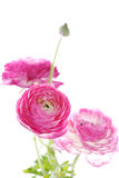 Flowers - ranunculus Stock Images
