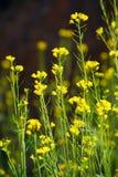 Flowers of rape Stock Photography