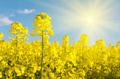 Flowers of rape against a background of the blue sky and rapesee Stock Photo