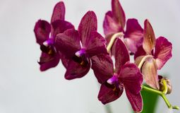 Flowers of rare burgundy-colored, or dark magenta phalaenopsis orchid Destiny, or purple Moth Orchid,. Phal orchid against a white wall. Selective focus royalty free stock images