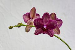 Flowers of rare burgundy-colored, or dark magenta phalaenopsis orchid Destiny, or purple Moth Orchid, Phal orchid against a white. Wall. Selective focus stock photos