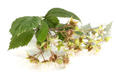 Flowers of raspberry with leaves Stock Photography
