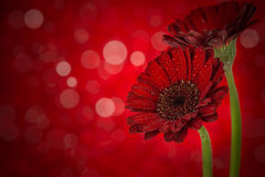 Flowers on red background. Dahlia flowers fall design.With copy space. Floral background with red flowers Campanula Stock Images