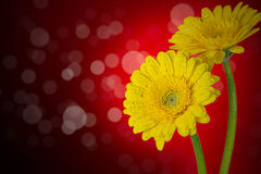 Flowers on red background. Winter flowers in the spring on a beautiful backdrop Royalty Free Stock Image