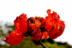 Flowers. Red flowers  are beautiful and carpel insect suck pollen Royalty Free Stock Image