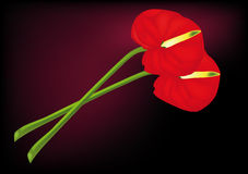 Flowers red calla Stock Image