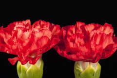 Flowers of red carnation Dianthus caryophyllus isolated on black background Stock Photos