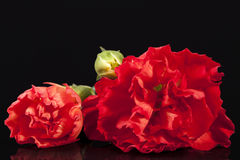 Flowers of red carnation Dianthus caryophyllus isolated on black background Royalty Free Stock Images