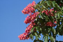 Flowers red chestnut Stock Photography