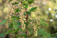 Flowers of red currant Stock Photo