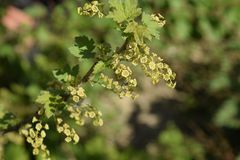 Flowers of red currant in spring on a stalk. Flowers of red currant in spring on a stalk Stock Photo