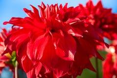 Flowers red dahlias Stock Photos