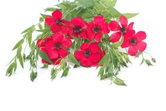 Flowers of red flax with buds isolated on a white Stock Image