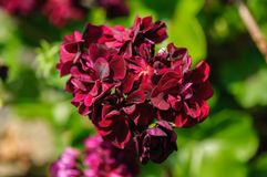 Flowers red geranium close up. Bordo color royalty free stock images