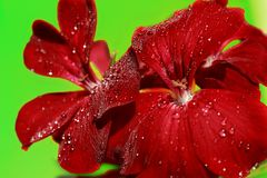 Flowers red geranium close up. Home red geranium. On a green background with drops of water. Macro royalty free stock photos