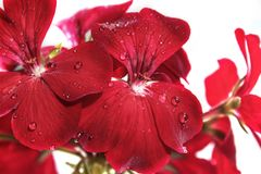 Flowers red geranium close up. Home red geranium. On a white background with drops of water. Macro stock photos
