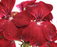 Flowers red geranium close up. Home red geranium. On a white background with drops of water. Macro royalty free stock image