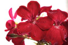 Flowers red geranium close up. Home red geranium. On a white background with drops of water. Macro royalty free stock photos
