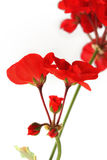 Flowers of red geraniums Royalty Free Stock Photography