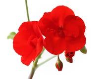 Flowers of red geraniums Stock Photos