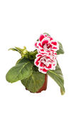 Flowers of red gloxinia Sinningia in a brown pot isolated on white background close-up. Stock Photos