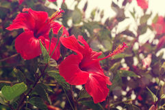 Flowers of a red hibiscus Royalty Free Stock Photography