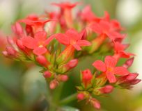 Flowers of red kalanchoe Royalty Free Stock Photography