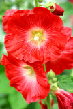 Flowers of red mallow. Beautiful flowers of red mallow Stock Image
