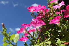 Flowers red petunias close to Royalty Free Stock Image