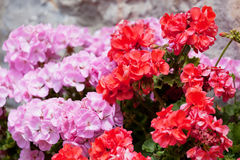 Flowers of a red and pink geranium. Close up stock photos